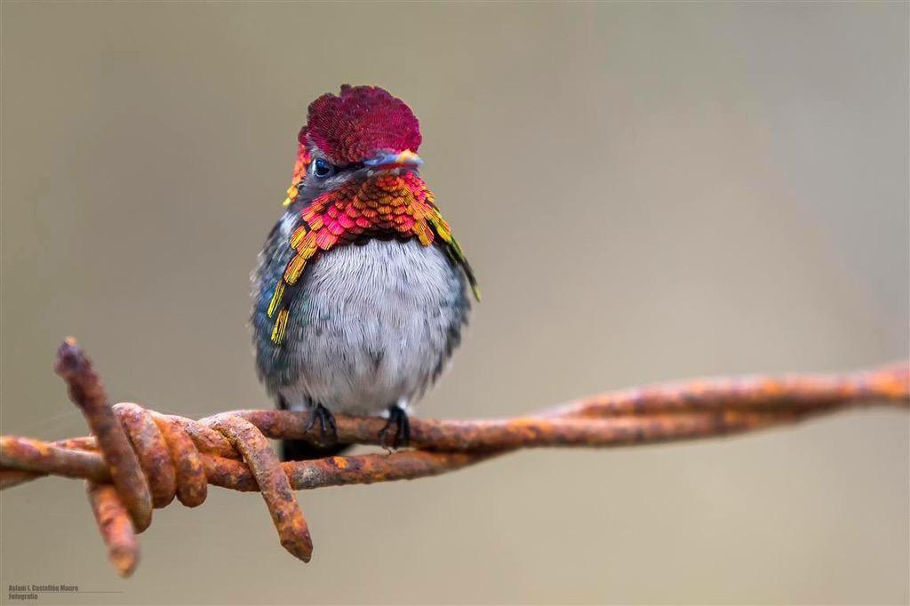 Great size perspective shot of the tiniest bird, Cuba's Bee Hummingbird