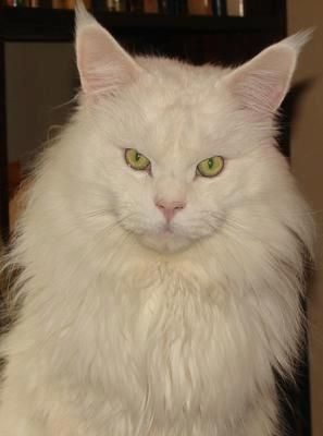 Pin on White Maine Coon