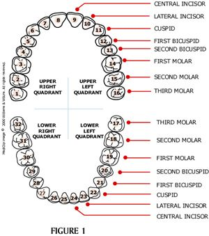 What Are The Quadrants Of The Mouth Quadrant Area