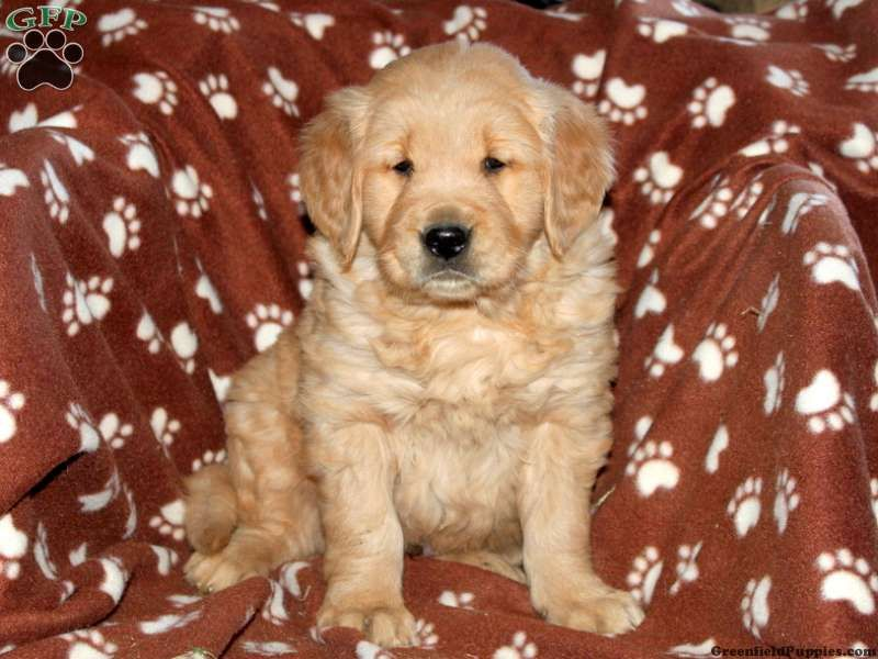 Shiloh, golden retriever puppy for sale from Strasburg, PA