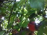 Kestryl in an apple tree