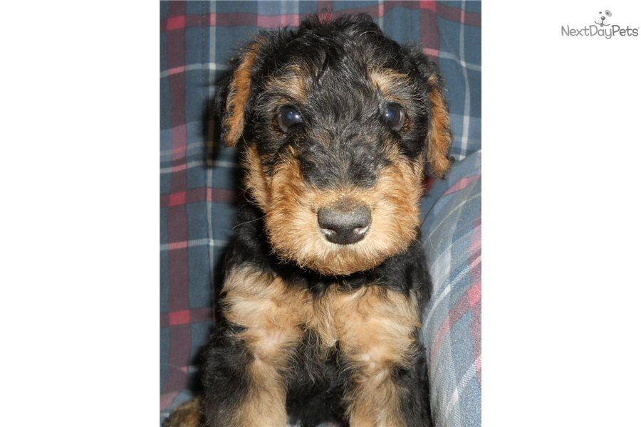 You Ll Love This Male Airedale Terrier Puppy Looking For A New Home Airedale Terrier Terrier Airedale Terrier Puppies