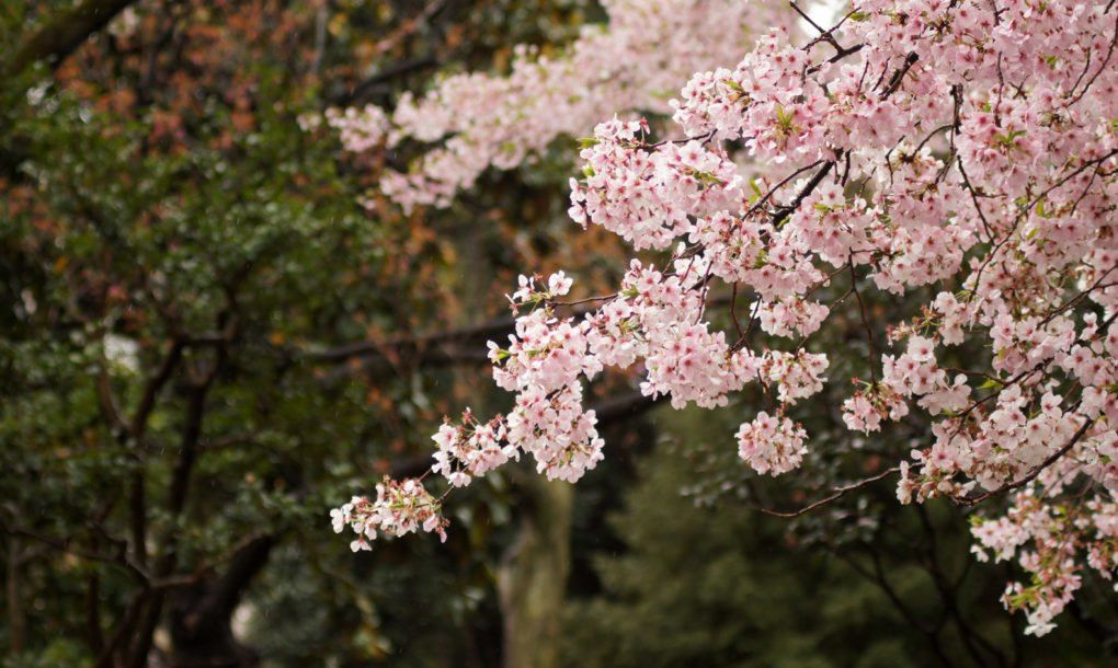Japanese Cherry Blossoms Spring Into Unusual Fall Blooms Cherry Blooms Traditional Japanese Architecture Cherry Blossom Dc