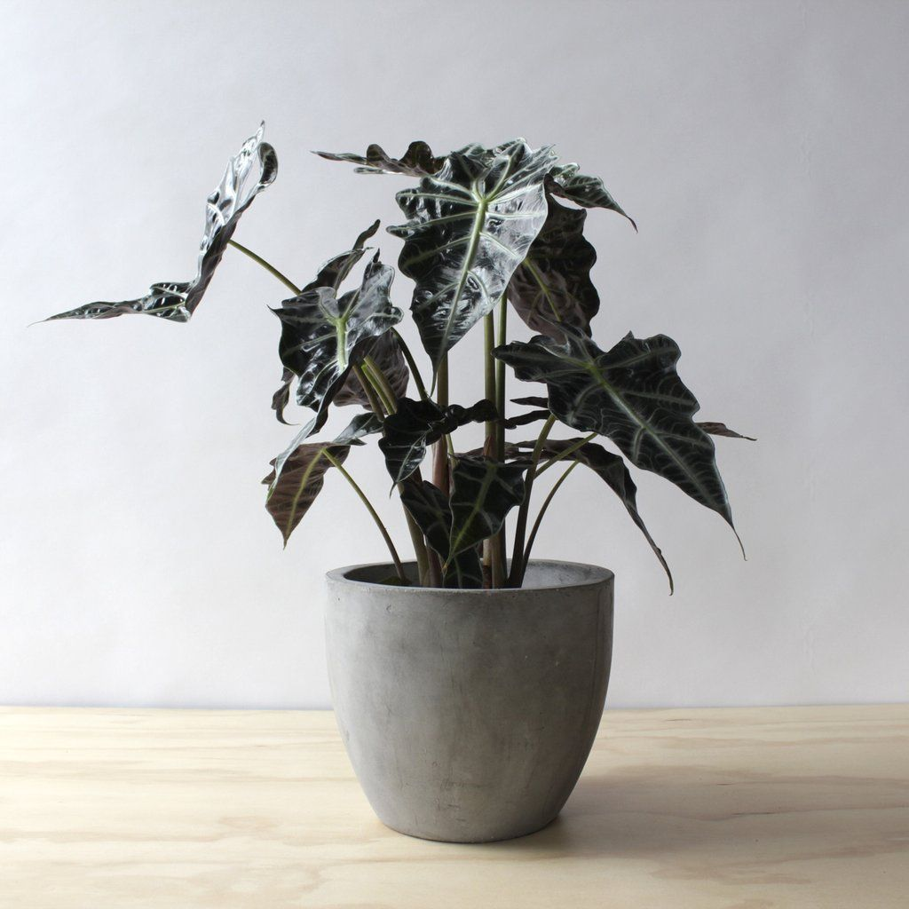 Alocasia Polly Plant Plants