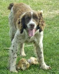 Image Result For Springer Spaniel Poodle Mix English Springer Spaniel Springer Spaniel English Springer
