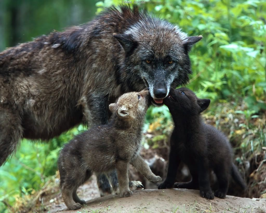 Open Thread For Night Owls Wolves Succeed With Images Baby