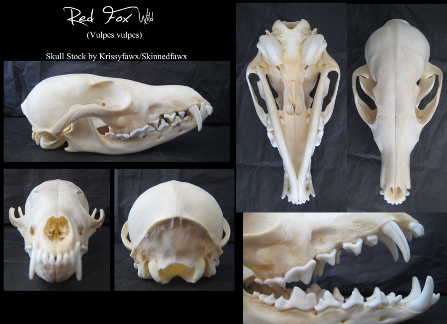 Skull Stock Wild Red Fox By Krissyfawx Skulls Animals