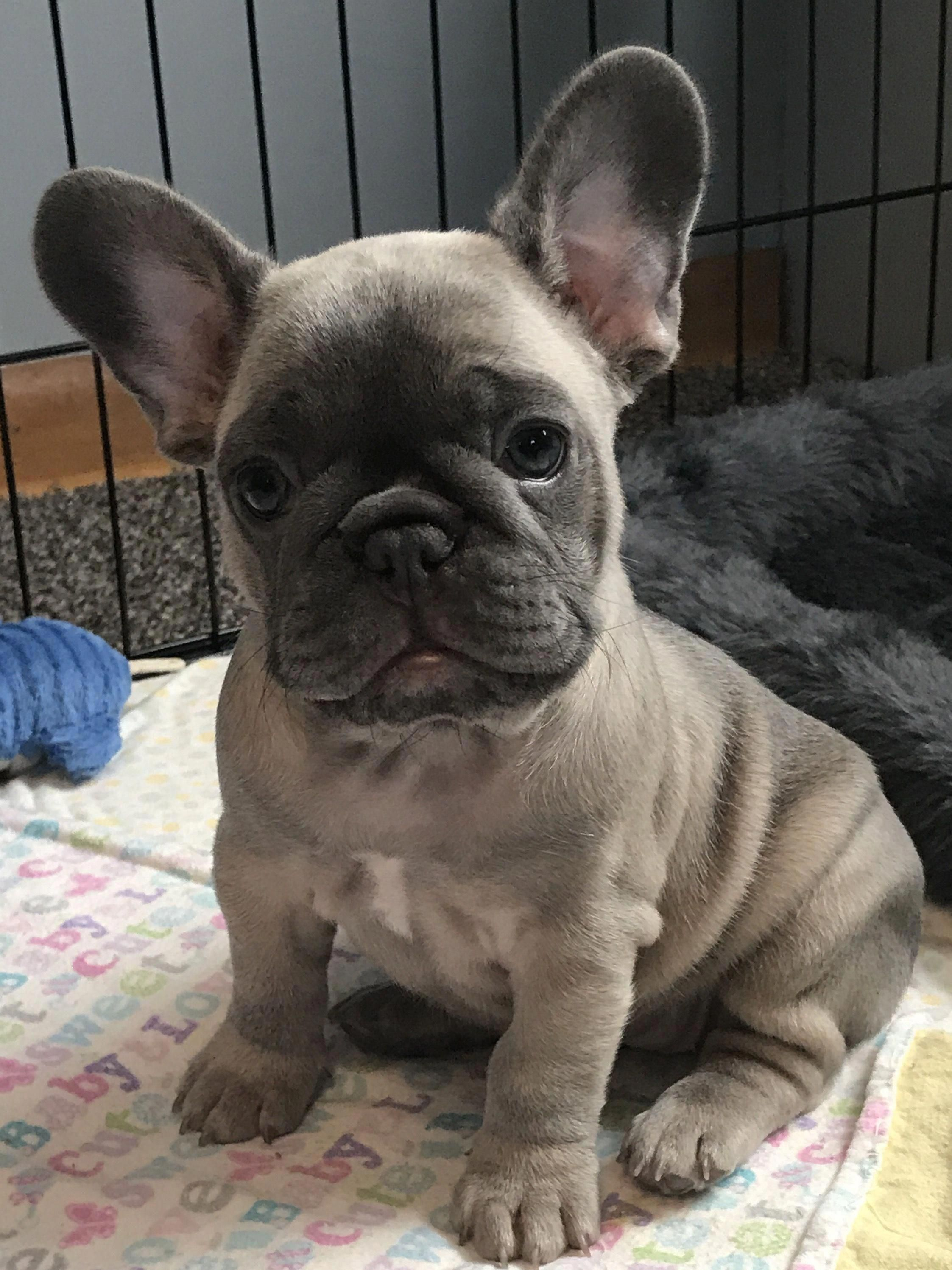 There Are Many Types Of Canine Toys Available For You To Pick From So When Trying To Find An Ideal Toy Cute Baby Animals French Bulldog Puppies Cute Animals