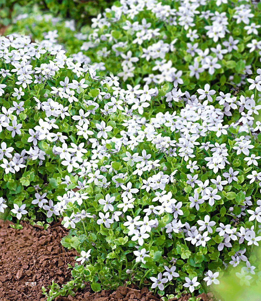 Isotoma White Splash Garten Pinterest