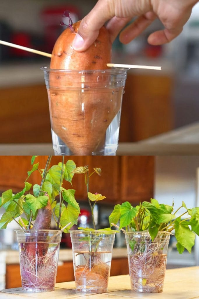 Photo of 12 Best Veggies & Herbs to Regrow from Kitchen Scraps