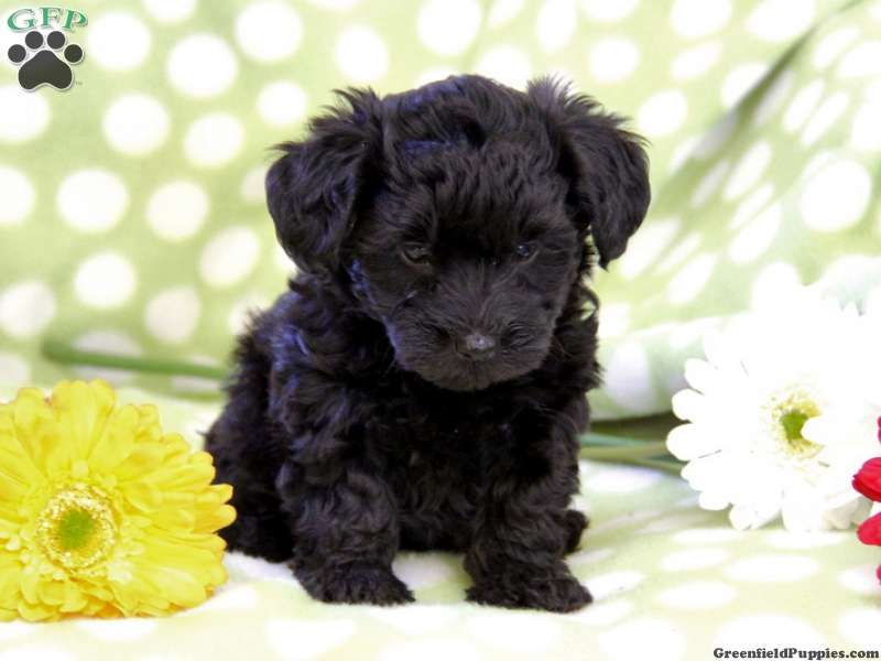 Pin By Abbye Speck On Pets Yorkie Poo Puppies Super Cute Animals Cute Dogs And Puppies