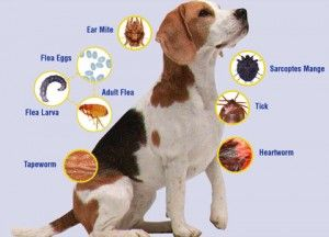 Tip Of The Day Zoonosis Natural Pet Fleas Pets