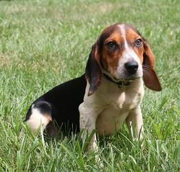Adopt Peppermint Patti On Beagle Dog Adoptable Beagle Basset