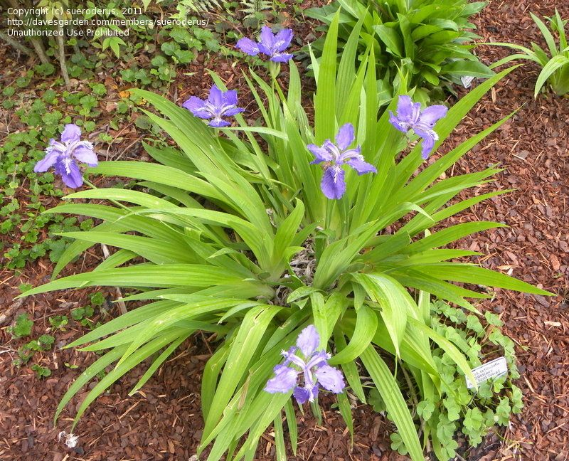 View Picture Of Japanese Roof Iris Root Iris Wall Iris Iris Tectorum At Dave S Garden All Pictures Are Contributed By Our Plants Iris Ornamental Grasses