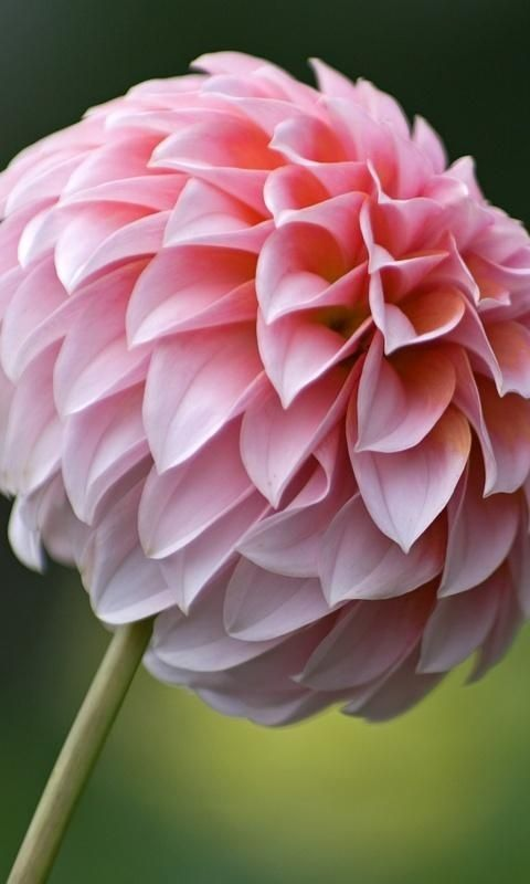 Pink Dahlia Flower Krasivye Cvety Posadka Cvetov Georginy