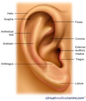Best 20+ External ear anatomy ideas on Pinterest