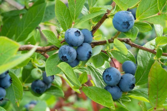 10 Tipps für den Anbau von Heidelbeeren/Blaubeeren #anbauvongemüse