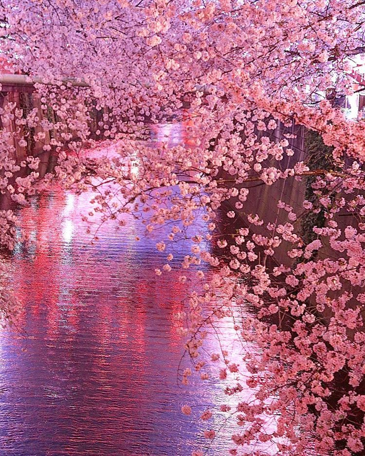 Sakura Blossom Trees Cherry Blossom Tree Blossom Flower