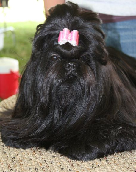 all black shih tzu all black dogs shih tzu dogs black shih tzu 2140