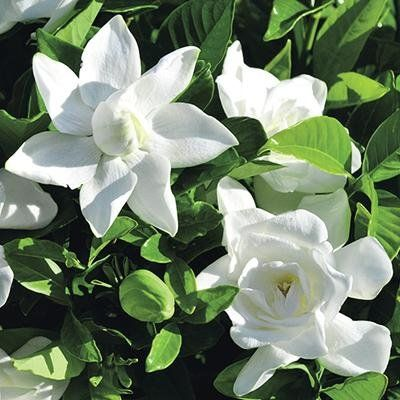 Summer Snow Gardenia 12 99 Each Blooms May June But Is Evergreen