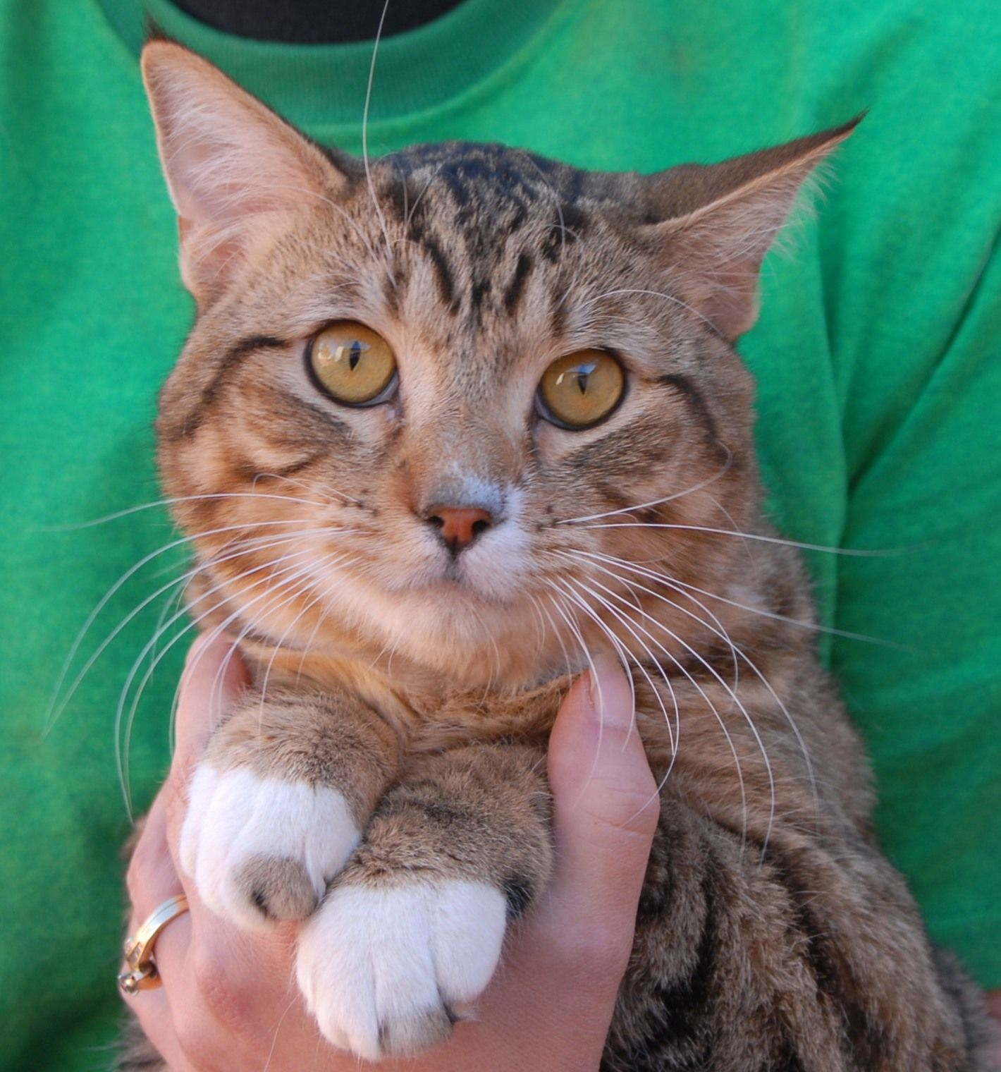 Von Is A Playful Cutie 1 Year Of Age Who Still Acts Like A Kitten He Enjoys Chasing The Laser Light And Chatting With You And Lea Cat Adoption Animals Cats
