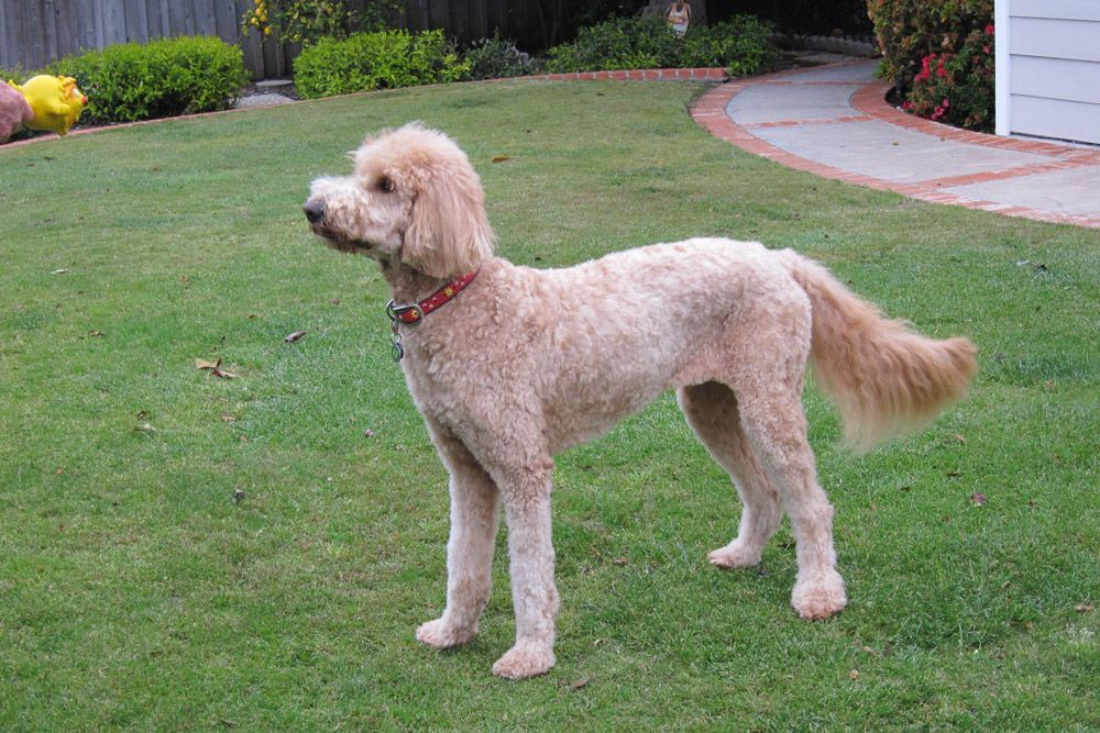 Labradoodle Short Haircut Google Goldendoodle Grooming Labradoodle Grooming Haircuts Labradoodle Grooming