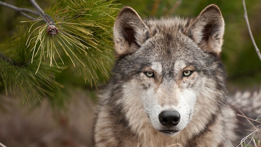 Luxemburger Wort - Wolf action plan drawn up for Luxembourg
