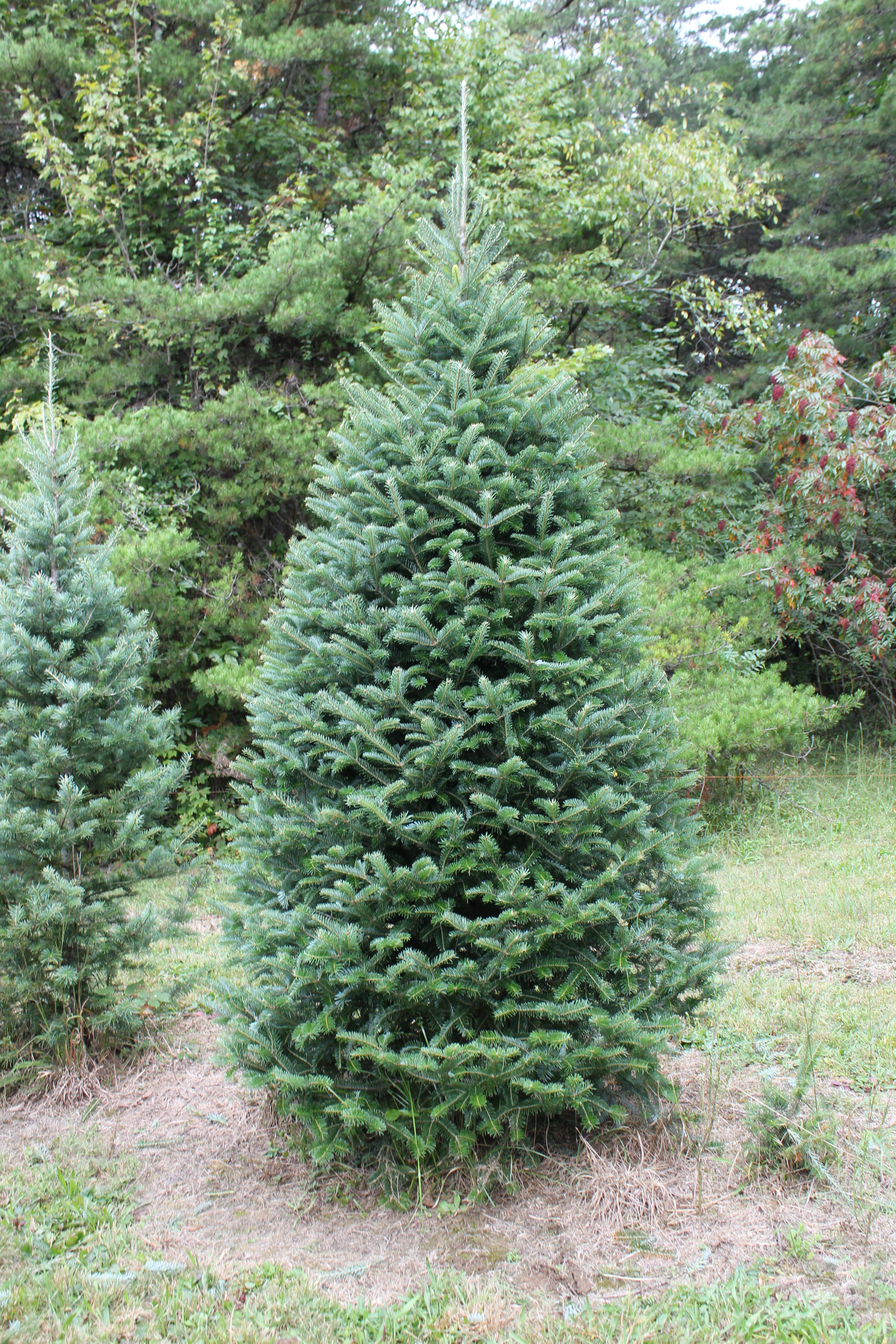 Posts About Our Products On Apsley Family Christmas Trees Garden Trees Christmas Tree Trimming Tree