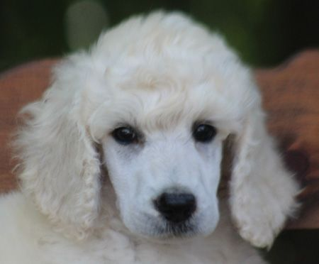 046 Satin S White No Polish Male Poodle Puppy Poodle