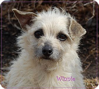yorkie rescue kentucky lexington ky ky yorkie yorkshire terrier wirehaired 8121