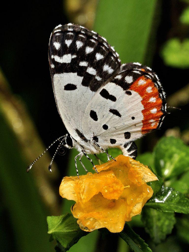 Red Pierrot (Talicada nyseus).  Love the black and white striped antennae!