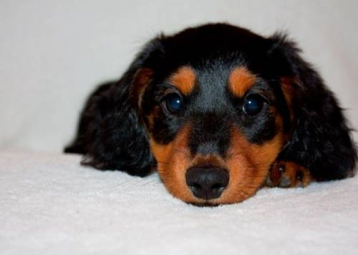 Mini Dachshund Puppies Dachshund Puppies Dachshund Mini Dachshund