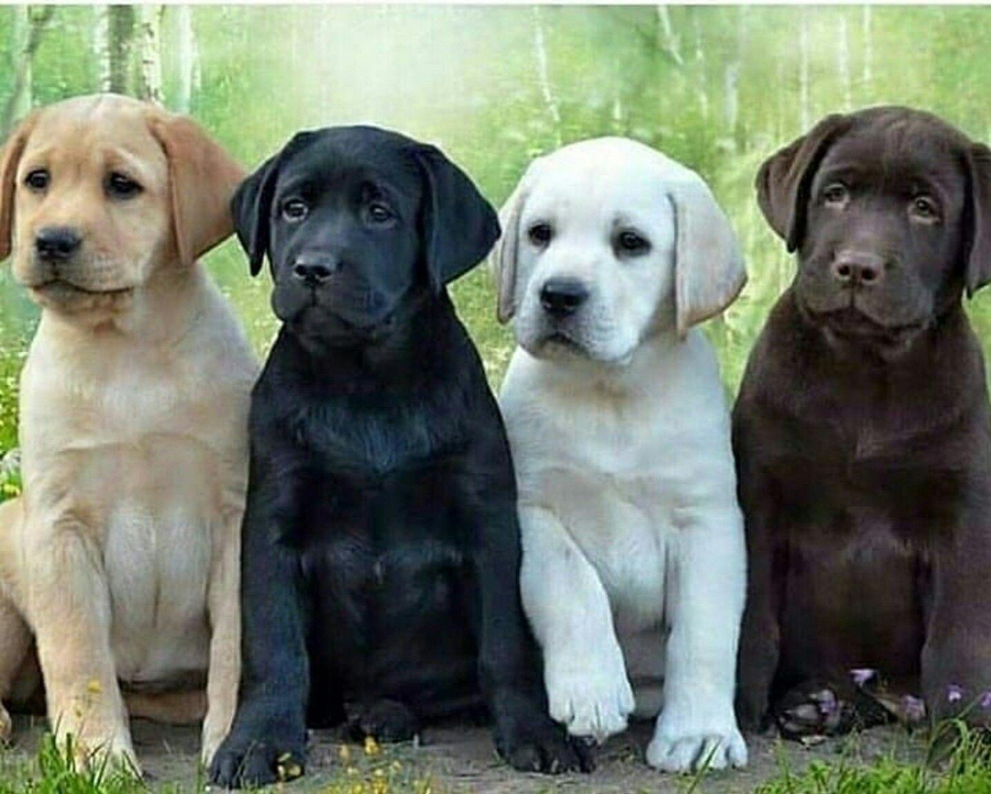 Labrador Retriever Puppy Labradorretrieverpuppies In 2020