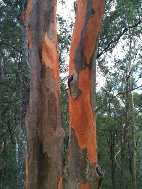 Gum tree orange and grey bark Tree, Tree trunk, Gum
