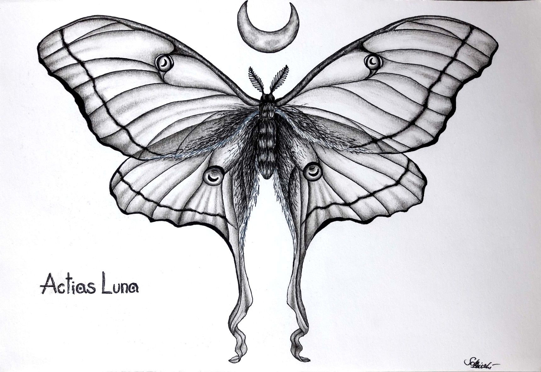 Actias Luna Moon Moth Actias Luna Black Pen Draw Tattoo Art Black