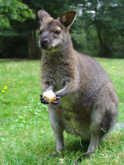 Wallaby Proof Plants Tips On Keeping Wallabies Out Of Gardens Wallabies Generally Eat Grasses And Other Pla Garden Pest Control Garden Pests Slugs In Garden