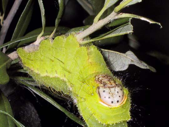 Chinese Oak Tasar Silk Moth Antheraea Pernyi