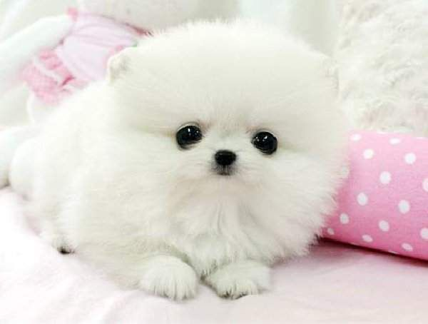 Pomeranian Puppy Cute Dogs And Puppies Cute Baby Animals