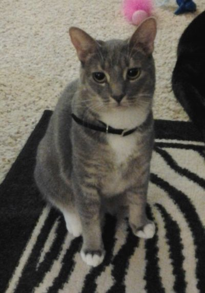 Abyssinian Cat Rescue California