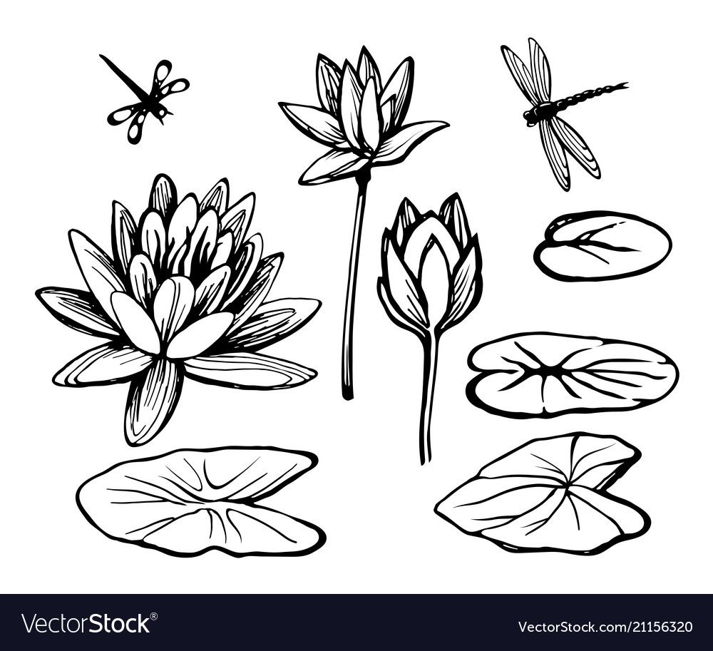 Water lily lotus and dragonfly vector image on VectorStock