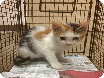 6 1 17 A749141 Urgent Austin Animal Center In Austin Tx Adopt Or Foster Spayed Female Domestic Mediumhair Kitten Kitten Adoption Pets Saving Cat