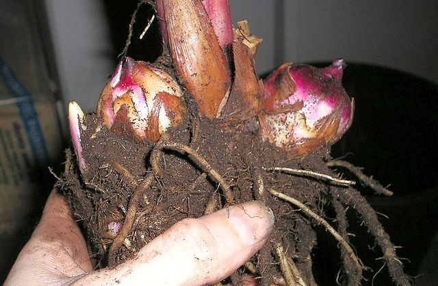 In The Midwest We Find Ourselves Digging Up Canna Bulbs To
