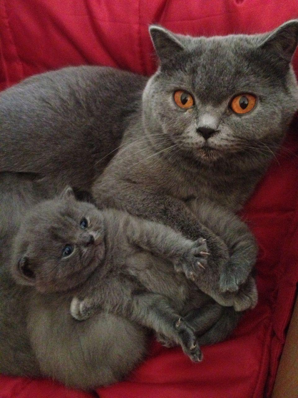 British Shorthair kittens Google zoeken greykittens