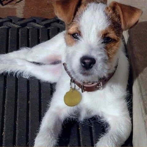 Foxy Parson Russell Terrier Jeanne Greensboro Nc Parson Russell