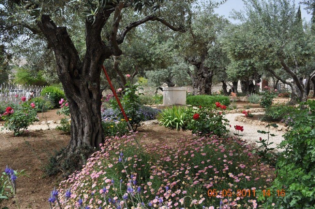 Garden Of Gethsemane Mount Of Olives Israel Pinterest Israel Gardens And Jerusalem