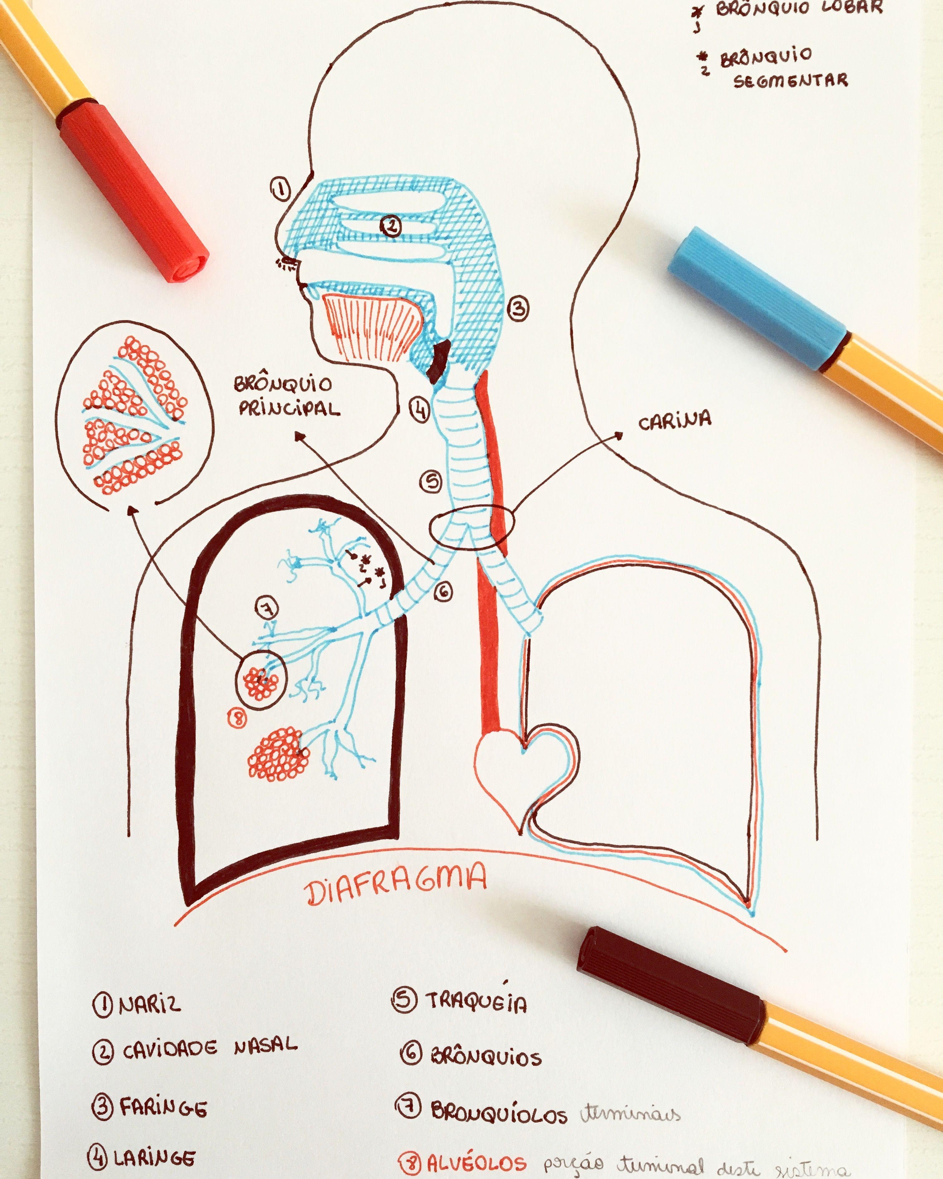 Resultado de imagem para sistema respiratorio mapa mental | Resumen ...