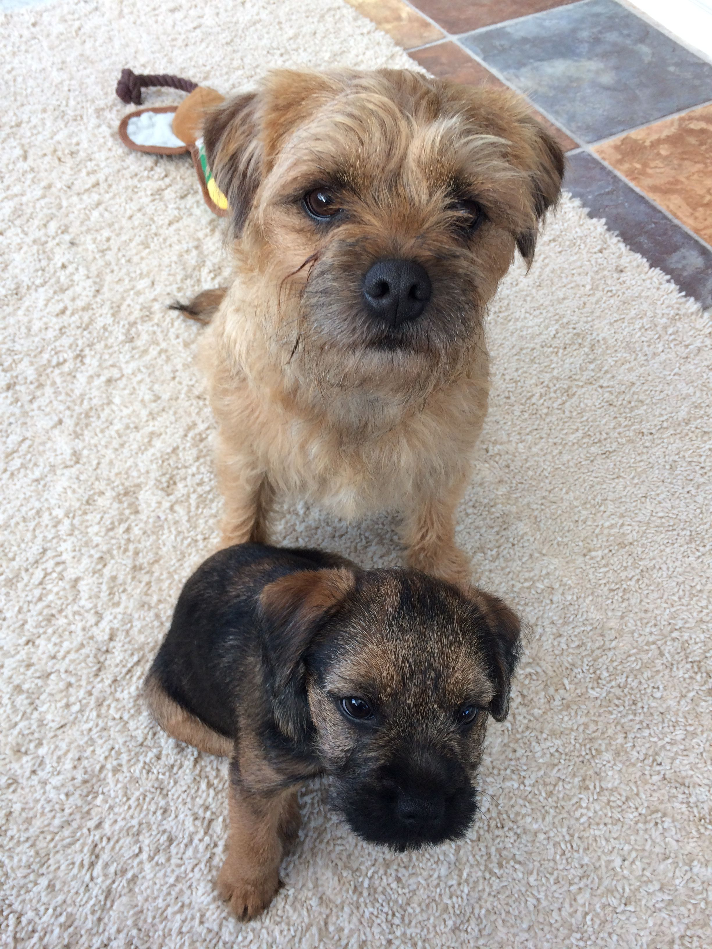 Pip Holly Btposse Borderpip Border Terriers Terrier Brown Dog
