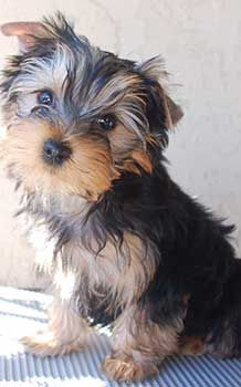 Pin By Terry Van Kirk On Yorkies And Other Cute Animals Yorkie Puppy Yorkie Cute Dogs And Puppies
