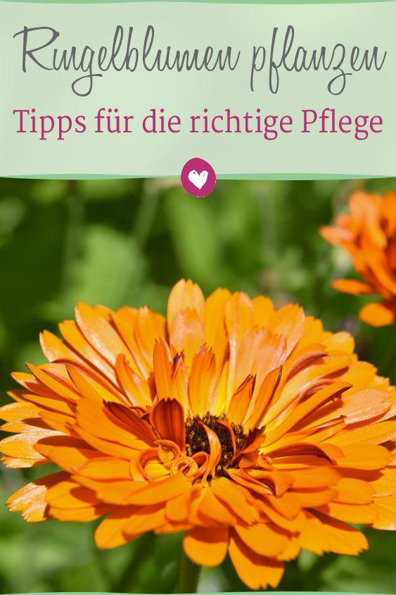 ringelblumen anpflanzen tipps f r den richtigen standort und die pflege alles f r ihren. Black Bedroom Furniture Sets. Home Design Ideas