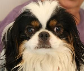 Adopt Dexter Adopted On Japanese Chin Dog Japanese Chin Dogs